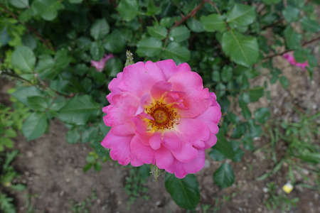 One semi double pink flower of rose in May