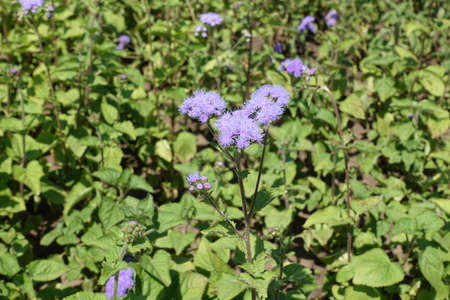Fluffy lavender colored flowers of Ageratum houstonianum in July 免版税图像