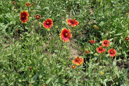 Multiple red and yellow flowers of Gaillardia aristata in May