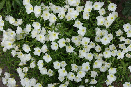 Multitude of white flowers of Oenothera speciosa in May 免版税图像