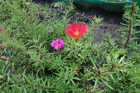 Pair of red and pink flowers of Portulaca grandiflora in July