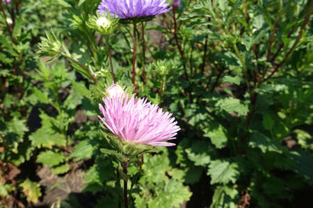 Two flowers of China asters - pink and violet one 免版税图像