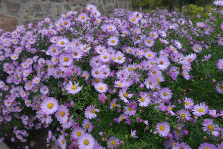 Aster dumosus with lots of pink flowers in October 免版税图像