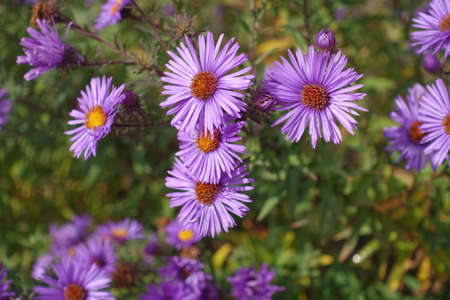 Flowers of purple New England aster in mid October