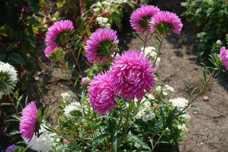 Deep pink flowers of China asters in September 免版税图像