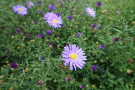 Foliage and violet flowers of Michaelmas daisies in September