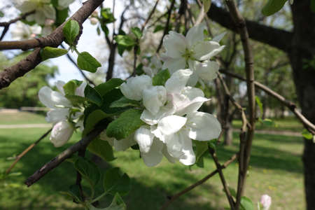 Several white flowers on branches of apple tree in April 免版税图像