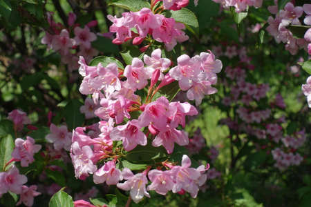 Vibrant pink flowers of Weigela florida in mid May