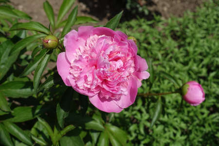 Vibrant pink flower of common peony in mid May 免版税图像