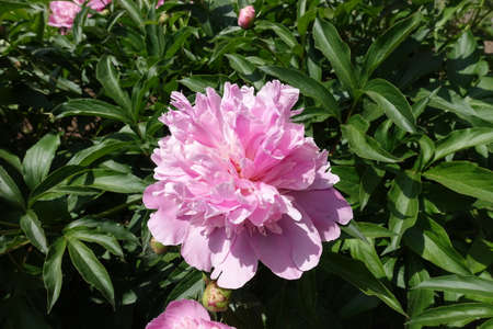 Subtle pink flower of common peony in mid May