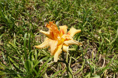 Polymerous apricot colored flower of Hemerocallis fulva in July 免版税图像
