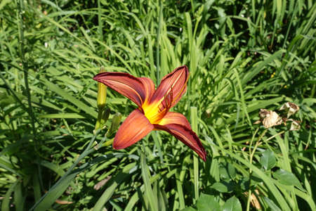 One red and yellow flower of daylily in June