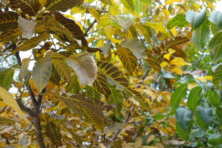 Multicolored autumnal foliage of common walnut in october