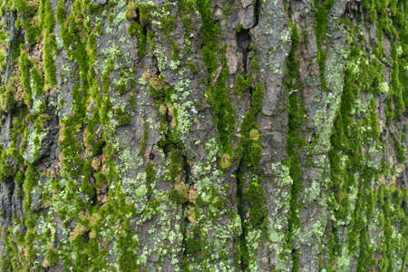 Grey tree bark with green and yellow lichen and moss in winter