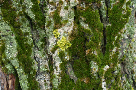 Bark with colorful lichen and dark green moss