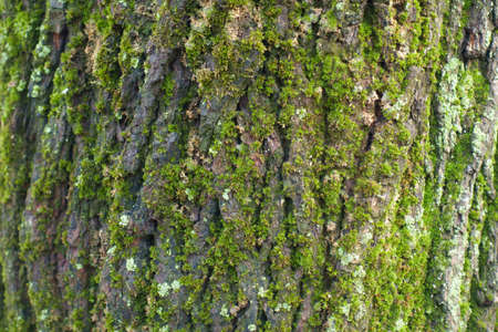 Grey bark covered with mint green lichen and moss