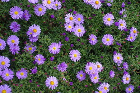 Blossoming bright violet Michaelmas daisies in September