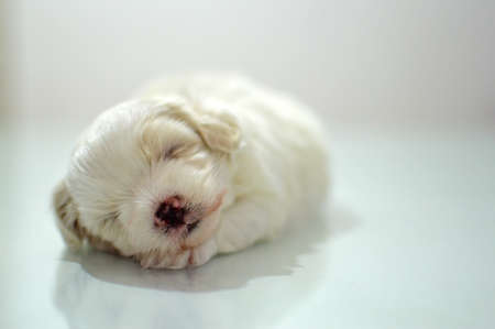 twain: Maltese puppy at the age of three weeks