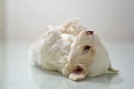 lapdog: Maltese puppy at the age of three weeks