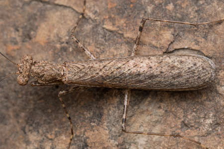 Bark mantis trying to camouflage on a rock Archivio Fotografico