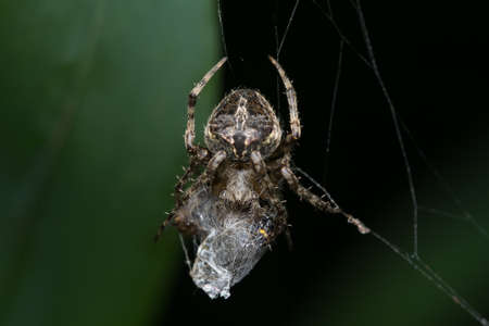 Closeup image of an orb weaver spider (Neoscona mukherjee) Araneidae feeding on other insect
