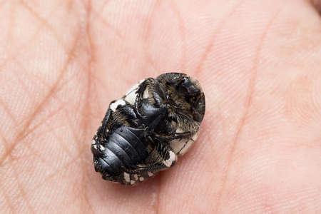 Ventral side of fruit chafer beetle (Mausoleopsis amabilis) sleping on hand