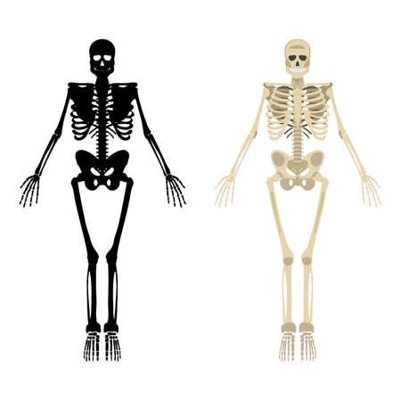 Skeleton icon. Human Skeleton front side Silhouette. Isolated on White Background. Vector illustration. Illustration
