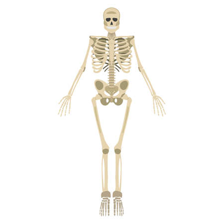 해골 아이콘. 인간의 뼈대 전면 실루엣입니다. 흰색 배경에 고립. 벡터 일러스트 레이 션. 일러스트