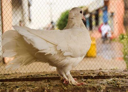 Beautiful White Pigeon Queen Standard-Bild