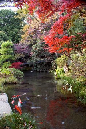 Colorida carpa koi en el estanque de un jardín asiático Foto de archivo - 87673719