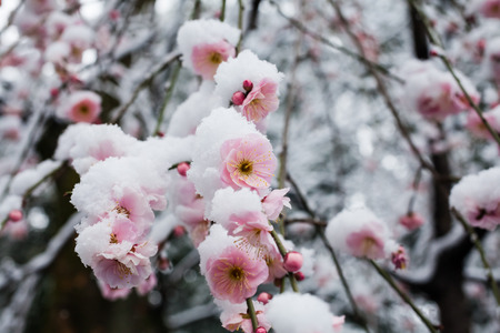 Japanese plum blossoms in the snow