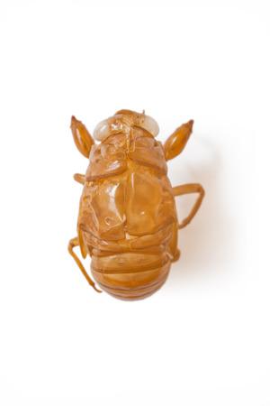 Japanese cicada molt, isolated on white background Stock Photo
