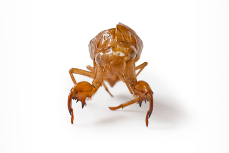 cigarra: Japanese cicada molt, isolated on white background Foto de archivo