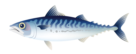 Isolated on the white background, the mackerel.