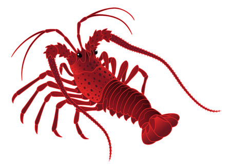 Japanese spiny lobster isolated on the white background