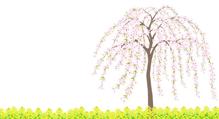 A weeping Japanese cherry tree in full bloom and rapeseed field. Illustration