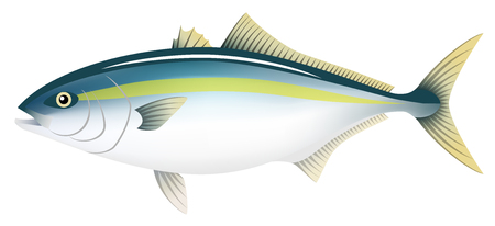 The adult yellowtail, isolated on the white background. Illustration