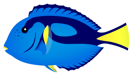 The blue tang fish, isolated on the white background.