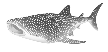 The whale shark, isolated on the white background. Stock fotó - 105299923