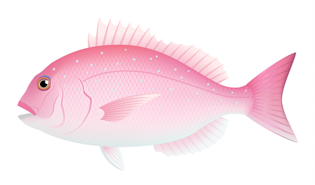 Red sea bream isolated on the white background. Illustration
