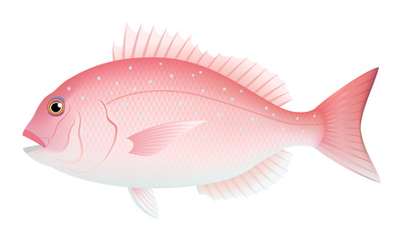 red sea bream, isolated on the white background.