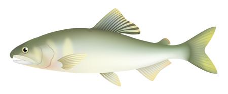 Japanese sweetfish, isolated on the white background.
