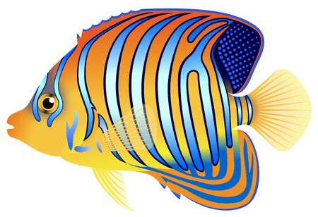 The royal angelfish, isolated on the white background.