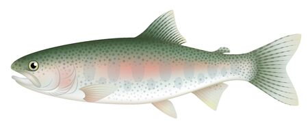 Rainbow trout, isolated on the white background. 矢量图像