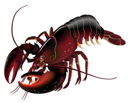 Live Red Lobster, Isolated on the White Standard-Bild - 132982102