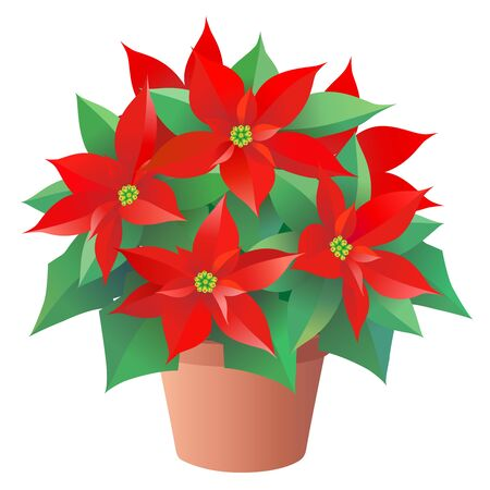 Red Christmas flower, Poinsettia in a pot, isolated on the white background. 일러스트
