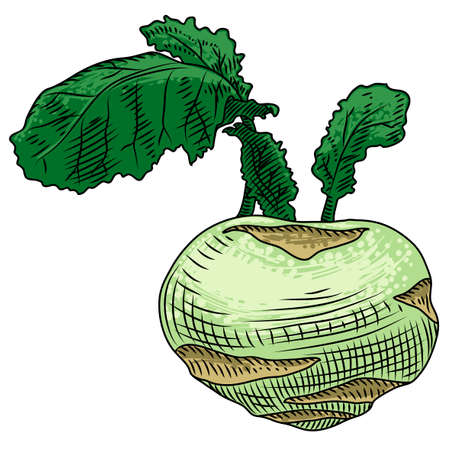 Kohlrabi with leaves on a white background. Freehand drawing.