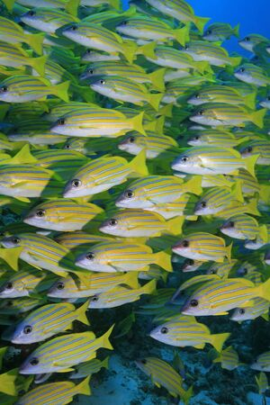 Bluestripe snappers in the tropical waters of the indian ocean photo