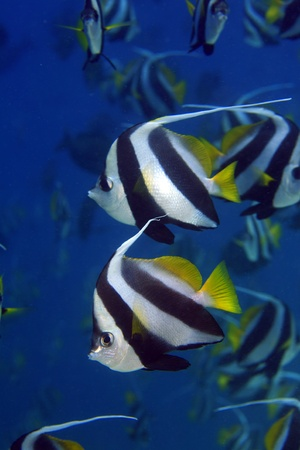 chaetodontidae: Longfin bannerfish in the tropical waters of the maldives