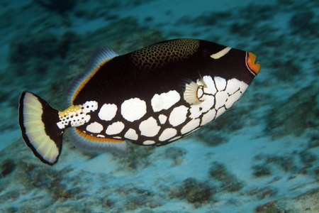 balistoides conspicillum: Clown triggerfish in the indian ocean
